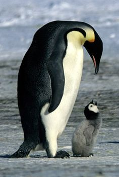 Pinguin & baby pinguin