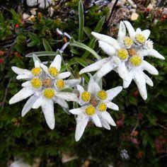 Floare de Colt Leontopodium alpinum - RoyalPlant.ro Edelweiss, My Heritage, My Flower, Beautiful Flowers, Folk, Projects To Try, Romania, Austria, Tattoo