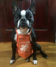 Boston Terrier, workin'.
