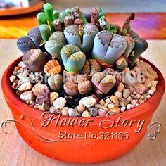 Online Cheap 100 Seeds Lithops Pseudotruncatella Living Stone Rare #Succulent…