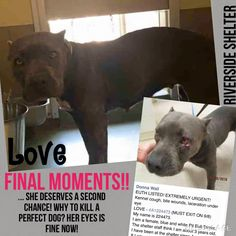 ***WOUNDED , SCARED , SLATED TO DIE!!!! EUTH LISTED! EXTREMELY URGENT!  Kennel cough, laceration under eye  LOVE - #A1224473  My name is 224473.  I am a female, blue and white Pit Bull Terrier.  The shelter staff think I am about 3 years old.  Riverside County Animal Control - Riverside Shelter at (951) 358-7387  Jurupa Valley, CA