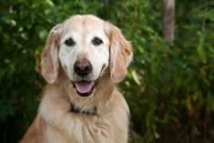 Do you know which dog breeds are the friendliest? From people-pleasing Golden Retrievers to lovable Pugs, these breeds are the most sociable companions.