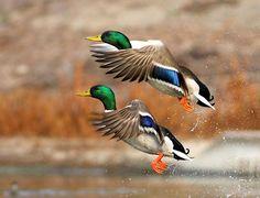 Ducks. Ducks. Ducks.