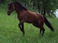 cheval quarter horse