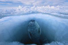 Walrus rising.