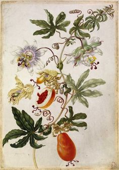 Grandilla (Passionflower), from an album of 160 drawings entitled 'Merian's Drawings of European Insects &c'. Maria Sibylla Merian, 1691-1699 (via British Museum)