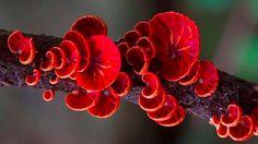 Orange Fan Fungi/anthracophyllum archeri