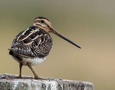 Pin-tailed Snipe (Gallinago stenura) from N. Russia, migrating to Asia and Indonesia.