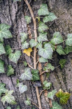 Ivy by Finta  Kolos on 500px