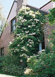 climbing hydrangeas for the angular area in the back of the house