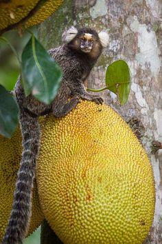 A Mico (a type of Marmoset) enjoys a Jaca snack.  Jardim Botanico, Rio de Janeiro, Brazil, South America.