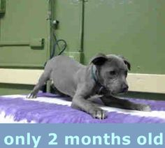 #A4791387 I'm an approximately 2 month old female pit bull. I am not yet spayed. I have been at the Carson Animal Care Center since January 12, 2015. I will be available on January 16, 2015. You can visit me at my temporary home at CRECEIVING. Carson Shelter, Gardena, California https://www.facebook.com/171850219654287/photos/pb.171850219654287.-2207520000.1421156786./358573274315313/?type=3&theater