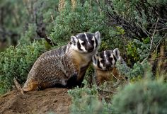 A pair of American badgers in Yellowstone National Park