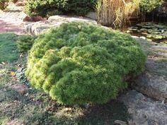 Pinus sylvestris 'Heartland Memory' - kääpiömänty
