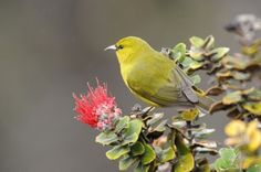 Mosquitoes threaten honeycreepers with disease -- and warming temperatures let the pests reach the birds' habitat.