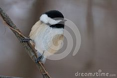 A black-capped chickadee standing on a natural perch