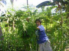 Harvesting Wild-Grown Moringa