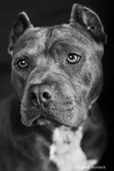 Find This Pin And More On Pitt Bulls By Jennifer Cribb