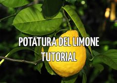 potatura limone - come potare il limone Green Garden, Garden Plants, Garden Works, Flowers Nature, Outdoor Life, Horticulture, Garden Projects, Gardening Tips, Urban Gardening