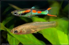 Poecilia wingei (Endler's livebearer) pair.jpg 1.024 ×683 pixels