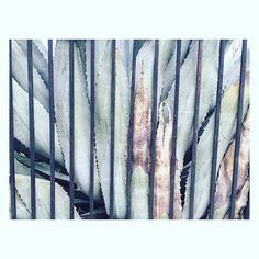 Fenced in Aloe