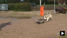 Dog bites badger - badger chase dog! #funny #dog #video