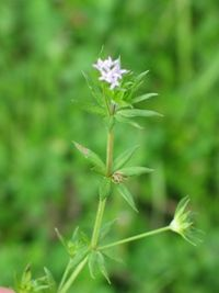 Common bedstraw. Found this in my yard today. Had never seen it before. The flowers are TINY! 3-24-12