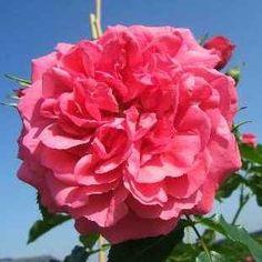 Rosarium Uetersen® Hochstammrose