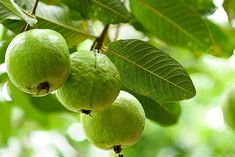 Guava fruit trees are not a common sight and need a decidedly tropical habitat. Given enough guava tree information, however, it's possible to grow these trees in a greenhouse or sunroom. Learn more here. Guava Fruit Tree, Guava Plant, Guava Leaves, Eat Fruit, Fruit Trees, Fruit Food, Nail Swag, Guava Benefits, Health Benefits