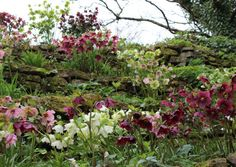 Helleborus arriving in our Devon gardens are a welcome sign of spring - Garden product, design & expert advice | Devon Life