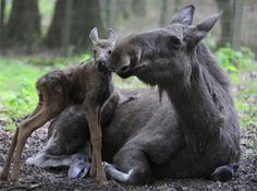 """... and I shall call her Mini Me"" ♥    Moose cow with her calf"