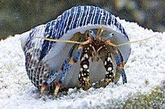 This crab has found a bright shell to match (and camouflage) its distinctive coloring.