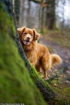 dog photography Flora Wilson, from the UK, came third in the I Love Dogs Because category with this picture of her Nova Scotia Duck Tolling Retriever Buddy Cute Dogs Breeds, Dog Breeds, Tattoo Silhouette, Dog Charities, Nova Scotia Duck Tolling Retriever, The Kennel Club, Mundo Animal, Working Dogs, Beautiful Dogs