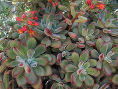 Echeveria coccinea (Red Echeveria) is a semi-sprawling shrubby succulent, up to 2 feet (60 cm) tall and up to 3 feet (90 cm) wide with...