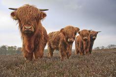 llbwwb:  Schotse hooglanders (by Lambert Reinds)