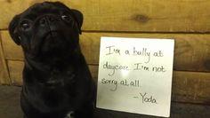 Pug shaming... should try it at camp. :) haha