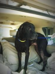 UPDATE 9/25/13 STILL AVAILABLE Chance is an adoptable Great Dane Dog in Tucson, AZ. Looking for a wonderful friend to share your life? Here's a great guy to take a chance on -- meet our Chance. Chance is a Great Dane mix with all o...