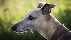 Au Royaume-Uni, les courses de lévriers sont un véritable sport national. Malheureusement, les greyhounds sont victimes de cette industrie impitoyable. A l'occasion d'un grand gala donné le 29/01/17, 30millionsdamis.fr revient sur l'enfer subi
