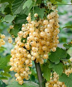 Currants 'White Pearl' are to grow in any garden. They require little maintenance and grow in any soil. What is better than in the summer enjoy currants with some sugar.