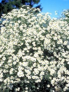 "Boltonia Snowbank ype: Perennials Height: Tall (Plant 24 ""apart) Bloom Time: Late Summer to Late Fall Sun-Shade: Full Sun to Mostly Sunny Zones: Find Your Zone S Cut Flowers, White Flowers, Bellis Perennis, Mostly Sunny, Large Plants, Sun Plants, White Gardens, Flowers Perennials, Sun Shade"
