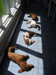 Our house every late afternoon dachshund mix puppies, puppy guide, furry puppy Dachshund Funny, Dachshund Love, Daschund, Dachshund Puppies, Funny Dogs, Cute Puppies, Cute Dogs, Dogs And Puppies, Baby Dogs