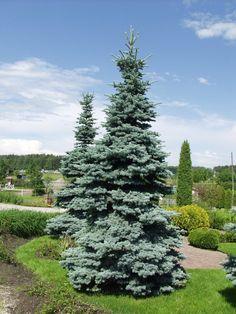"""Hopeakuusi """"Picea pungens"""" 'Glauca'"""
