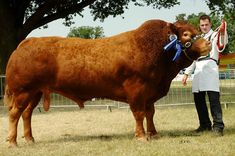 limousin cattle - Google Search