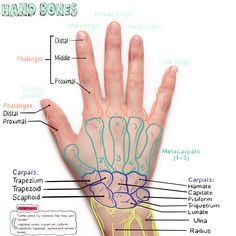 In this image, you may find Hand Bone Anatomical Landmark. Anatomy Bones, Hand Anatomy, Human Body Anatomy, Human Anatomy And Physiology, Muscle Anatomy, Nursing School Notes, Medicine Student, Medical Anatomy, Medical Terminology