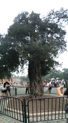 9 dragon tree  Temple of Heaven  Beijing China