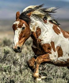Picasso, famous stallion of Sand Wash Basin, Craig, Colorado All The Pretty Horses, Beautiful Horses, Animals Beautiful, Cute Animals, Cute Horses, Horse Love, Horse Girl, Horse Photos, Horse Pictures
