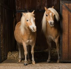 This was a very interesting shoot, 2 brothers with completely opposite personalities. One was a bit on the heavy side and very scruffy the other one well kept and did not like to ruffle his hair. 2 Brothers, Miniature Horses, Stables, Miniatures, Hair, Animals, Instagram, Animales, Horse Stables