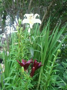 Lilies - In the Gardens today 6-28-2013