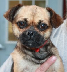 Rambo is an adoptable Chihuahua Dog in Poland, IN. **Please send us an email in addition to your application!!** Rambo is a small little guy!! He is a Chihuahua x Pug mix commonly called a Chug! Rambo...