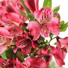 FiftyFlowers.com - Hot Raspberry Alstroemeria Flowers